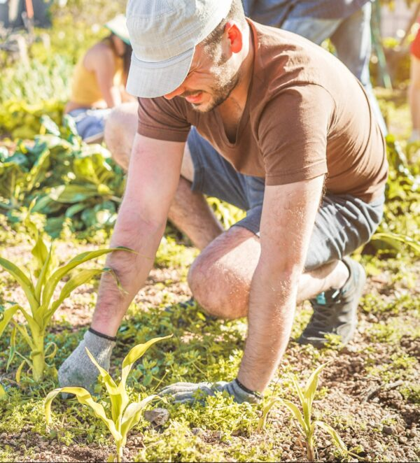 Work team harvesting fresh vegetables in the community greenhouse garden – Happy farmers people at work picking up organic onions and garlic – Focus on head hat – Sowing and vegetarian concept