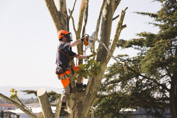 Sawing Top Of The Tree