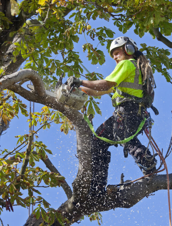 Tree Surgeon Saws a Small Bough of Diseased Chestnut Tree
