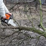 A man sawing a fallen branch of a fruit tree with chainsaw